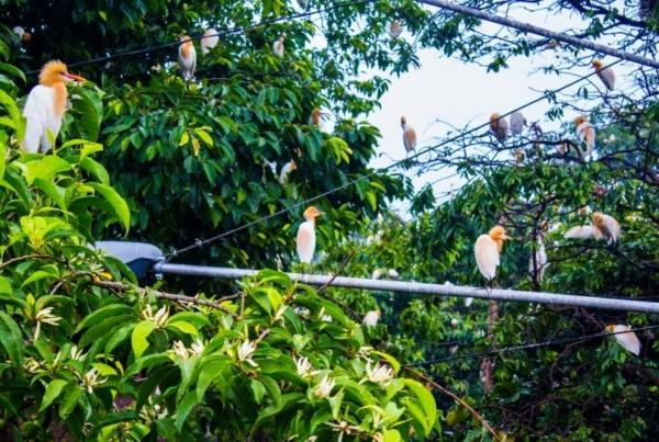 Heron On The Main Road In Petulu