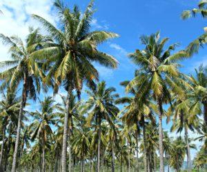 Gili Trawangan Palms