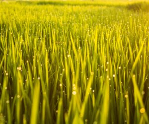 Ricefields Canggu