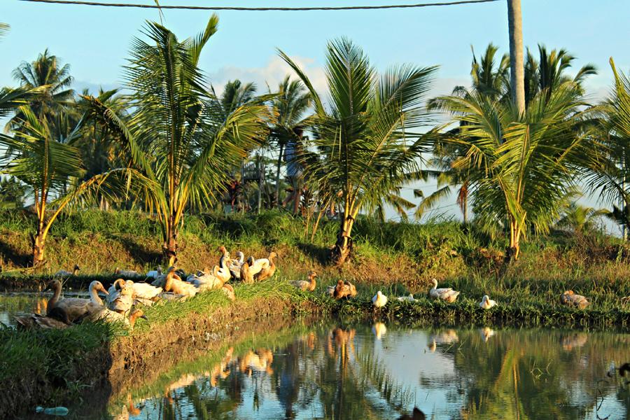 Ricefields Ducks