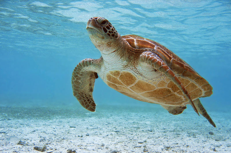 Sea Turtle Tubbataha Unesco World Heritage Reef, Palawan