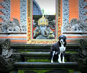 Ubud Temple Dog